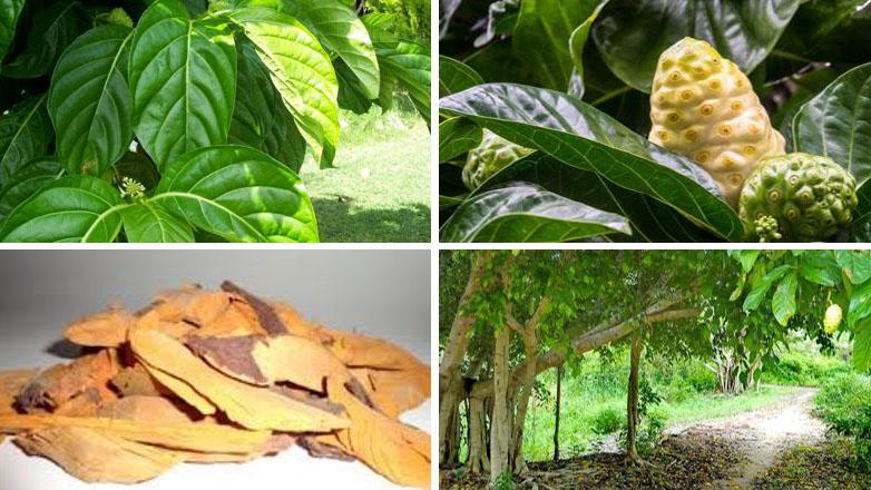 Công dụng của trái nhàu trong y học cổ truyền